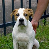 Adopt A Pet :: DJ - Huntsville, AL