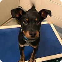 Shepherd (Unknown Type) Mix Puppy for adoption in Joplin, Missouri - Coren Vtg 6666