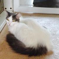 Domestic Longhair/Domestic Shorthair Mix Cat for adoption in Belleville, Michigan - Dina