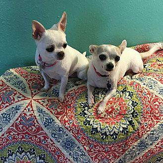 Chihuahua Mix Dog for adoption in San Antonio, Texas - Leila