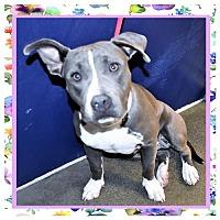 Adopt A Pet :: Pitbull female - San Jacinto, CA