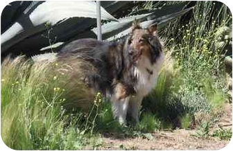 Collie Dog for adoption in Trabuco Canyon, California - Charger