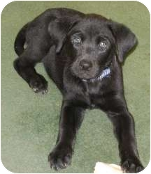 Golden Retriever/Labrador Retriever Mix Puppy for adoption in Warren, Michigan - Newman