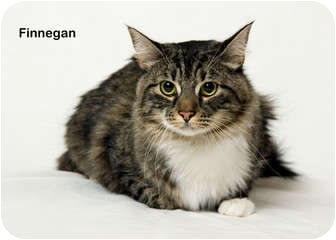 Domestic Mediumhair Cat for adoption in Portland, Oregon - Finnegan