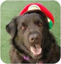 Flat-Coated Retriever Mix Dog for adoption in Scottsdale, Arizona - Layla