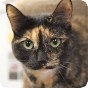 Domestic Shorthair Cat for adoption in Naperville, Illinois - Gracie