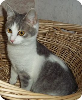 Domestic Shorthair Cat for adoption in Brookville, Indiana - April