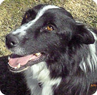 Border Collie Mix Dog for adoption in Salt Lake City, Utah - Niels