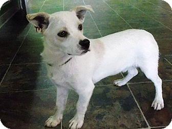 Chihuahua Mix Dog for adoption in Hatifeld, Pennsylvania - Winston