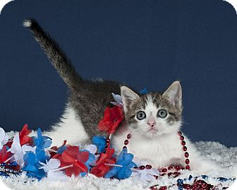Domestic Shorthair Kitten for adoption in Wayne, New Jersey - Ashley