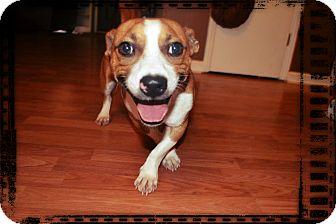 Jack Russell Terrier/Basset Hound Mix Dog for adoption in Homewood, Alabama - Nate