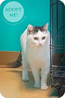 Domestic Shorthair Cat for adoption in Brookings, South Dakota - Seuss' Cat in the Hat