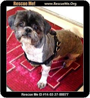 Shih Tzu Dog for adoption in Boulder, Colorado - Cocoa & Bo