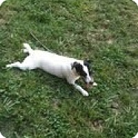 Jack Russell Terrier Dog for adoption in Columbia, Tennessee - Shane