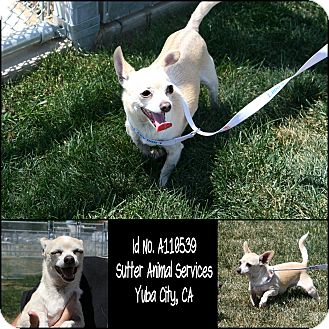 Chihuahua Mix Dog for adoption in Yuba City, California - 05/01 Unnamed