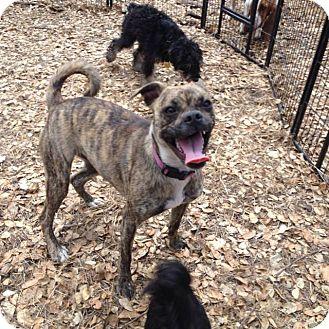 Boxer/Pug Mix Dog for adoption in Auburn, California - Molly