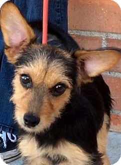 Yorkie, Yorkshire Terrier/Schnauzer (Miniature) Mix Puppy for adoption in Los Angeles, California - MERLIN (video)