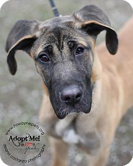Great Dane Mix Puppy for adoption in Lyons, New York - Daria
