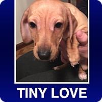 Adopt A Pet :: Belle - Morrisville, PA