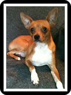 Chihuahua Mix Dog for adoption in Winchester, California - AARON