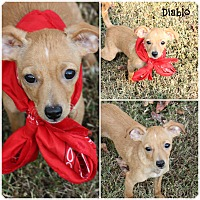 Adopt A Pet :: Diablo - Brattleboro, VT