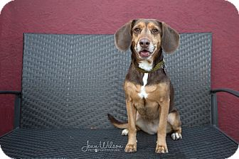 Beagle Mix Dog for adoption in Drumbo, Ontario - Carly