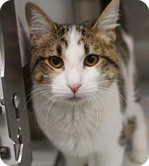 Calico Cat for adoption in Farmington, New Mexico - Pearl