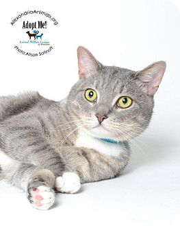 Domestic Shorthair Cat for adoption in Alexandria, Virginia - Monkey