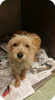 Yorkie, Yorkshire Terrier/Terrier (Unknown Type, Small) Mix Dog for adoption in Cleveland, Mississippi - WANDER +: ADOPTION PENDING