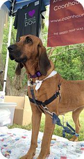 Bloodhound Dog for adoption in New York, New York - Quarter Moon