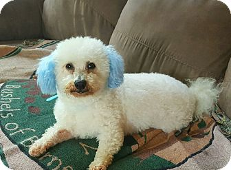 Bichon Frise Dog for adoption in Mount Gilead, Ohio - Blue