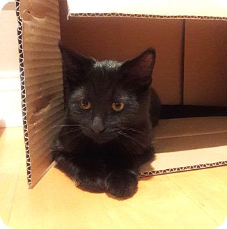 Domestic Shorthair Kitten for adoption in Lombard, Illinois - Bear
