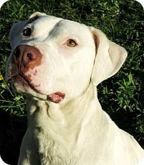 Pit Bull Terrier Mix Dog for adoption in West Babylon, New York - Princess