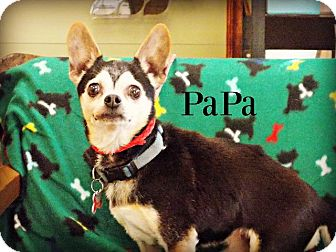Chihuahua Mix Dog for adoption in Defiance, Ohio - Papa