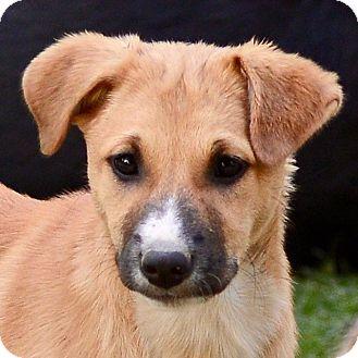 German Shepherd Dog/Retriever (Unknown Type) Mix Puppy for adoption in WADSWORTH, Illinois - Trixie