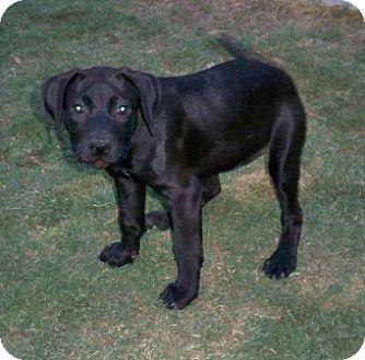 Labrador Retriever/Labrador Retriever Mix Puppy for adoption in Pipe Creed, Texas - Star