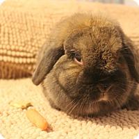 Adopt A Pet :: Cinnabun - Hillside, NJ