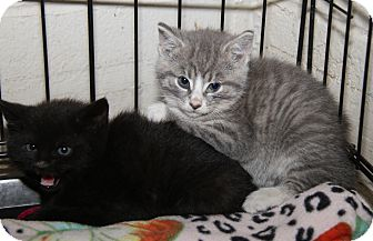 Domestic Shorthair Kitten for adoption in Marietta, Ohio - Thelma & Louise