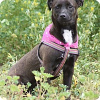 Terrier (Unknown Type, Small) Mix Dog for adoption in Poway, California - LIZZIE