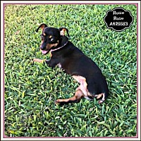 Adopt A Pet :: ROSIE - San Antonio, TX