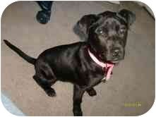 American Pit Bull Terrier Mix Puppy for adoption in Newington, Connecticut - Hurley