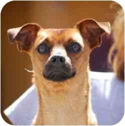 Chihuahua Mix Dog for adoption in Berkeley, California - Randolph