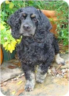 Cocker Spaniel Dog for adoption in Sugarland, Texas - Brady