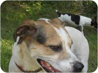 Jack Russell Terrier Mix Dog for adoption in hartford, Connecticut - Keagan