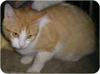 Domestic Shorthair Cat for adoption in Breinigsville, Pennsylvania - Sunny