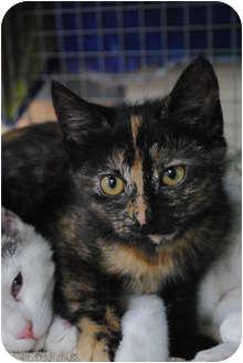 Domestic Shorthair Kitten for adoption in Wheaton, Illinois - Kate