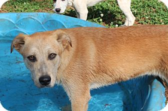 Labrador Retriever Mix Dog for adoption in Hagerstown, Maryland - Peaches
