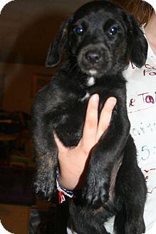 Labrador Retriever/Border Collie Mix Puppy for adoption in Hopkinsville, Kentucky - Carson