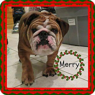 English Bulldog Dog for adoption in Park Ridge, Illinois - Merry *Adoption Pending*