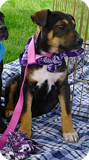 Shepherd (Unknown Type)/Labrador Retriever Mix Puppy for adoption in Sacramento, California - Sadie loves kids cats dogs